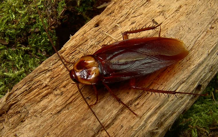 an american cockroach on wood