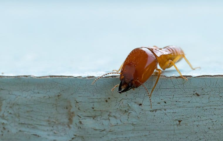 a termite on wood