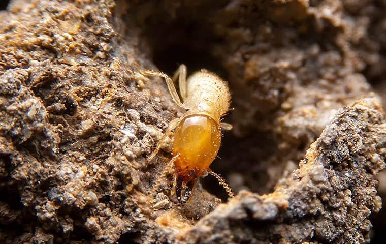 termite in a mound in edisto south carolina