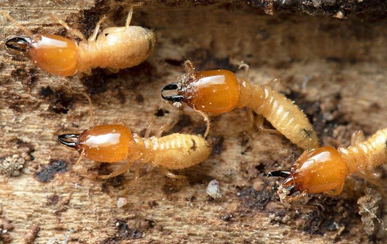 termites in a mound in edisto south carolina