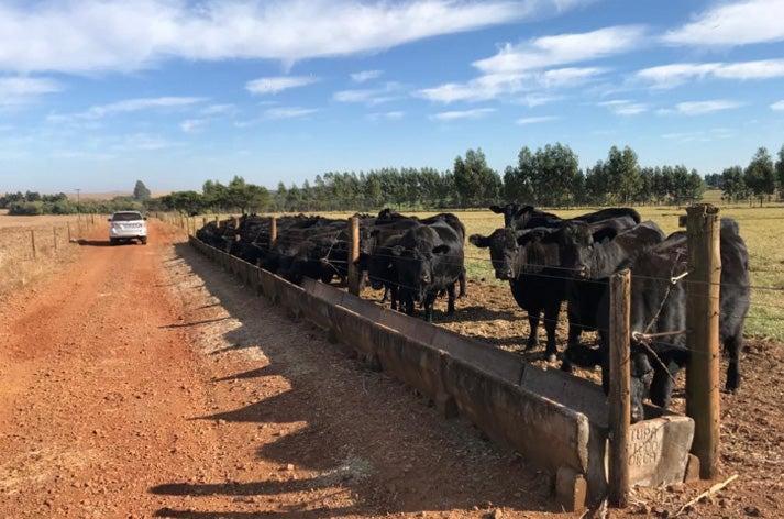 Novilhas pretas na fase de recria sendo alimentadas próximas a uma cerca, que faz divisão direta com a estrada de terra.