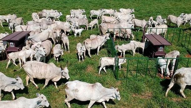 Diversos bois, vacas e bezerros alimentando-se com o sistema creep feeding em um campo preparado.