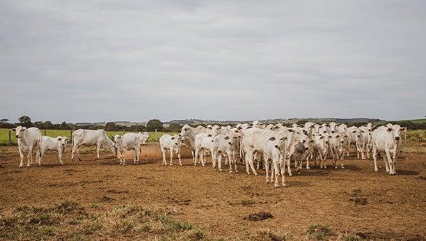 Bezerros em volta de uma vaca no campo.
