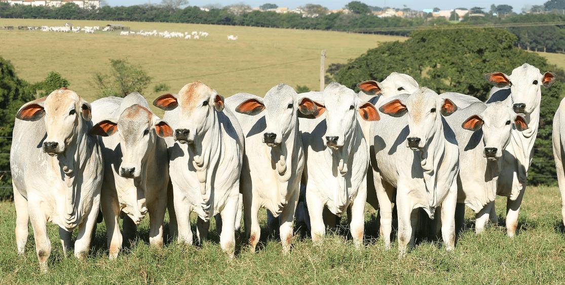 Vacas olhando para frente, organizadas lado a lado.