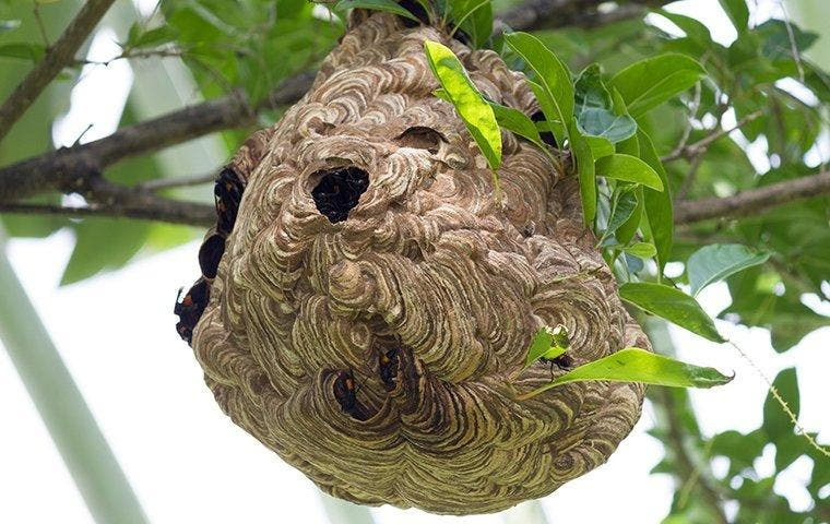 wasp nest in a tree