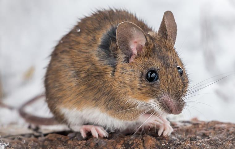 a mouse in the winter