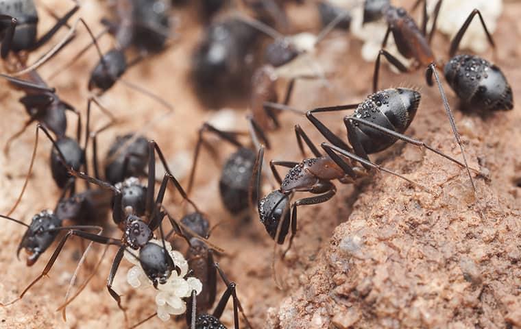 carpenter ants in a swarm