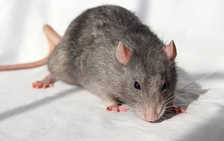 grey rat on a white sheet