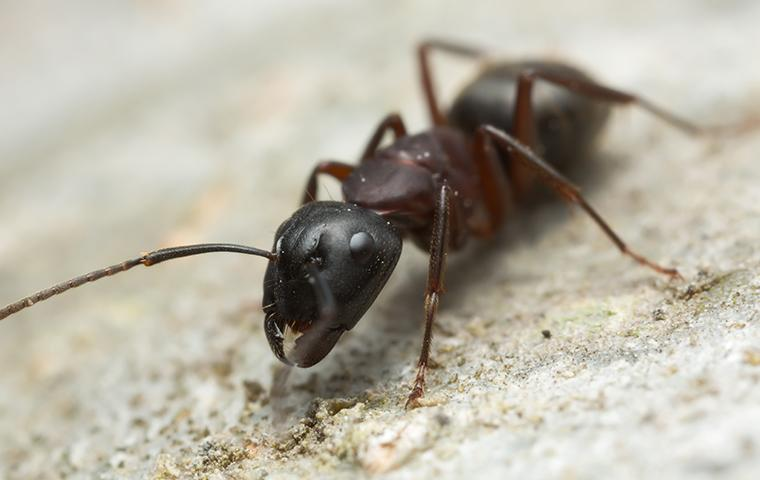 a carpenter ant on the ground