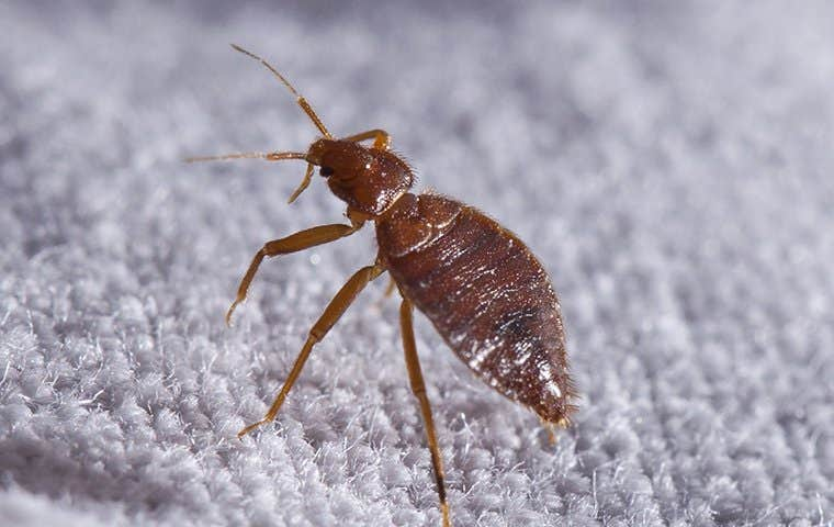 a bed bug on a blue blanket