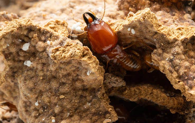 termite coming out of a hole