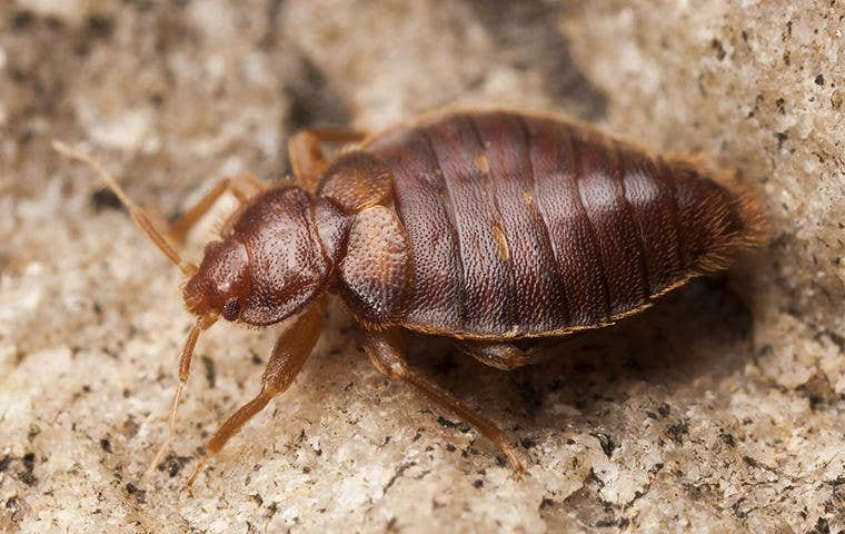 bed bug on countertop