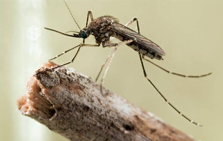 mosquito on a branch in nassau county