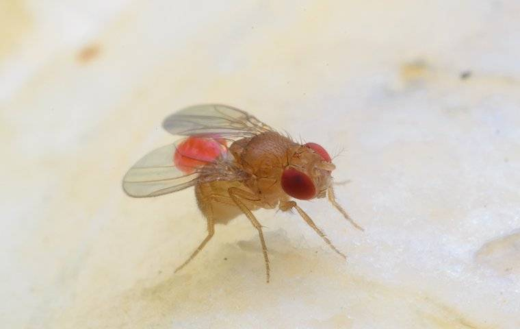 fruit fly on a piece of fruit