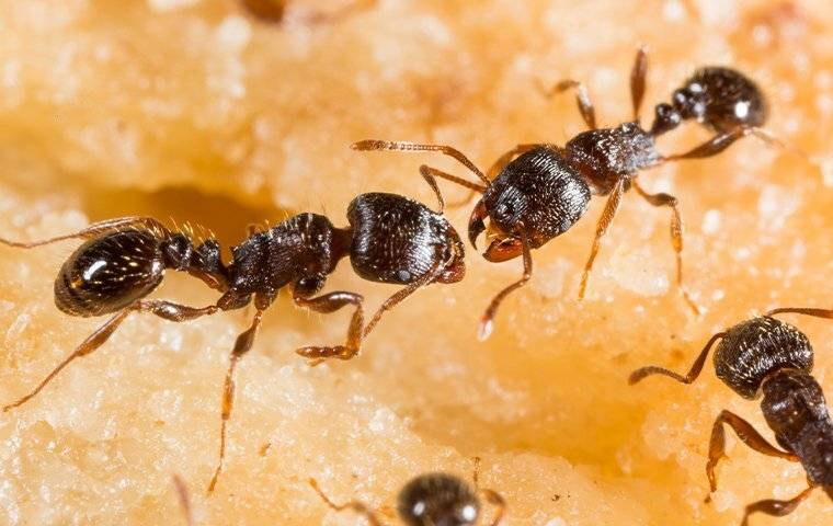 pavement ants on fruit in nassau county