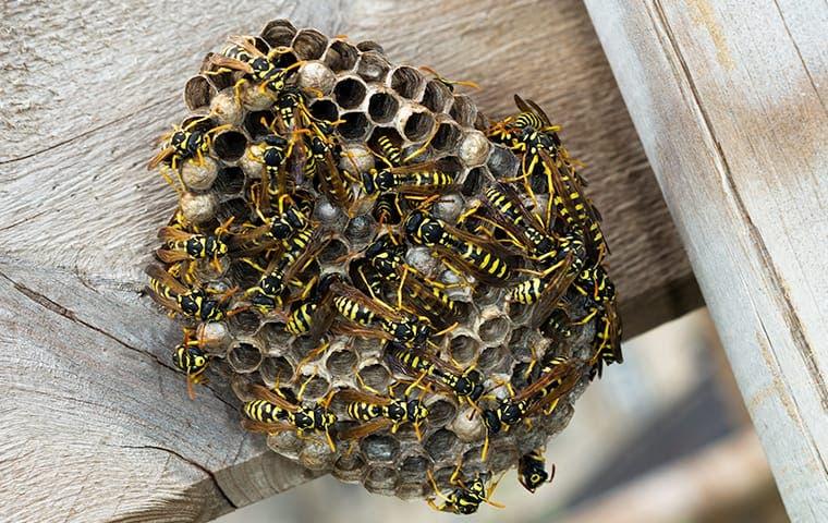 dozens of paper wasps on their nest