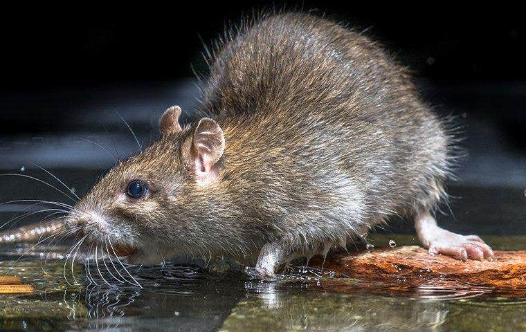 rodent taking a drink from water pooled on the ground