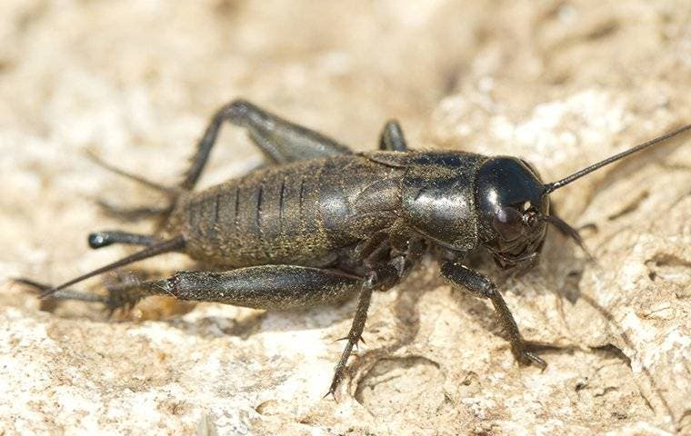 field cricket crawling on the ground in nassau county