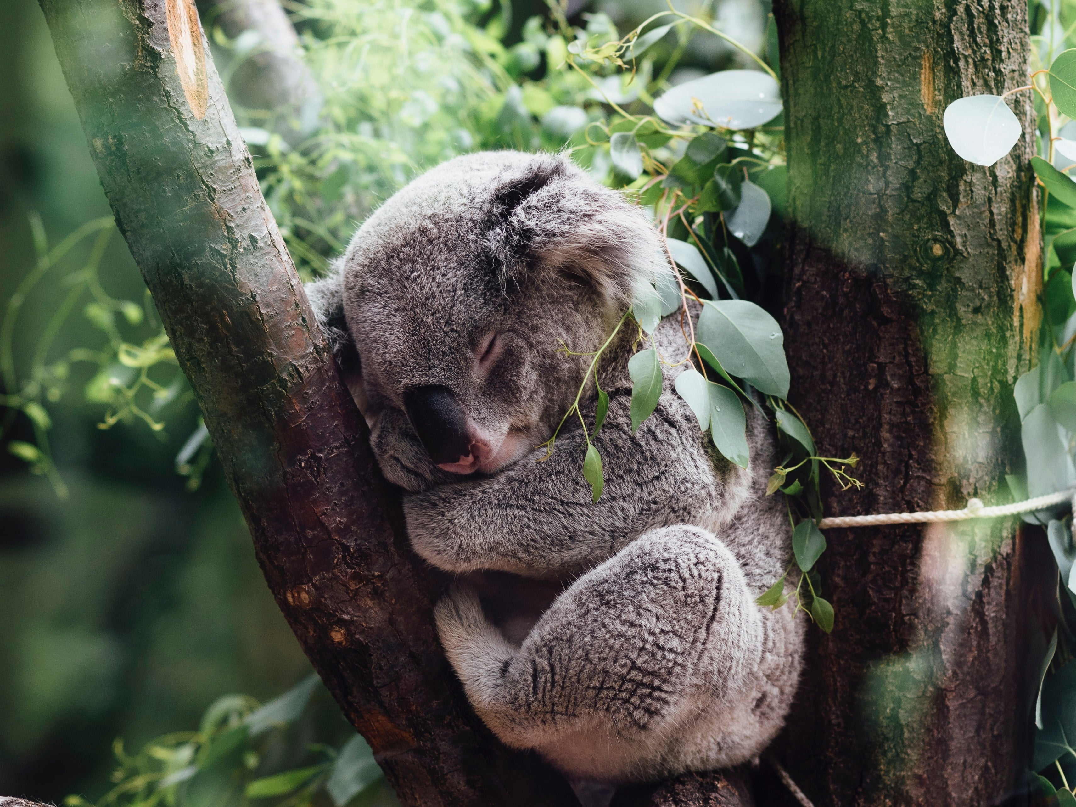New state environmental planning policy to help protect koalas across NSW