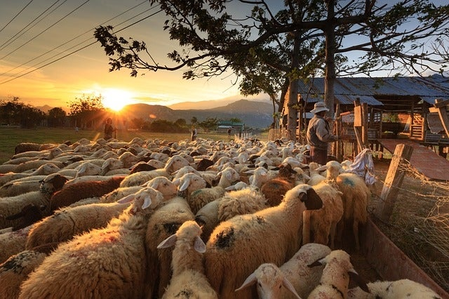 New animal welfare requirements imposed on sheep exports to the Middle East