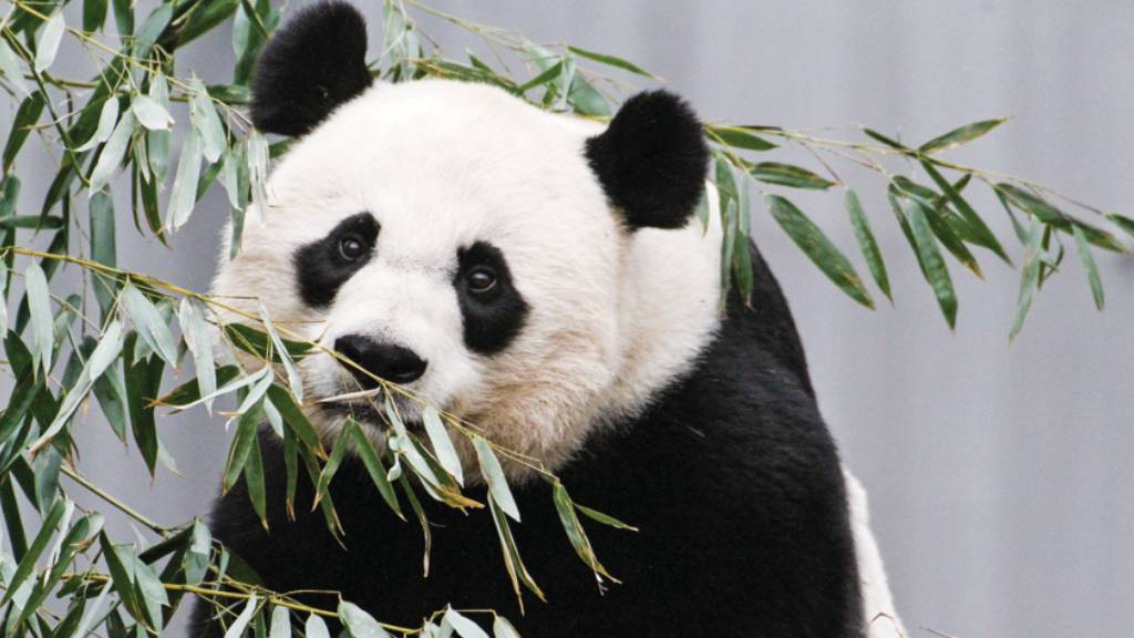 Giant panda Mei Xiang eating leaves