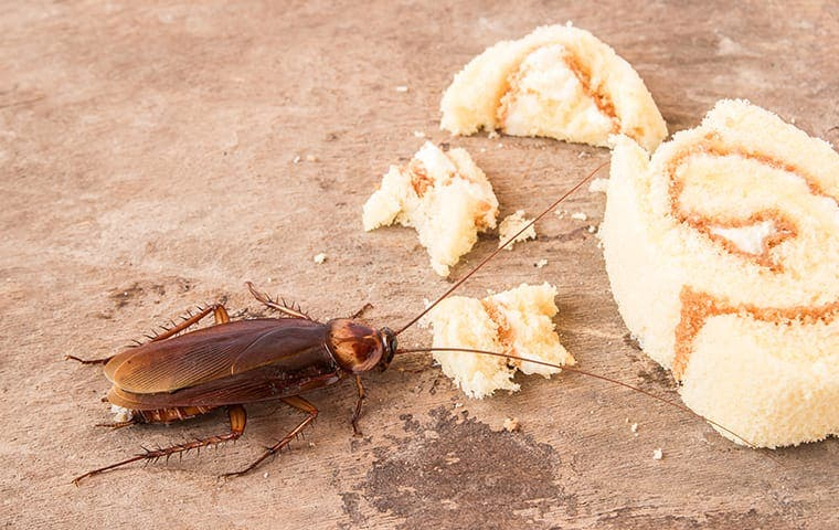 an american cockroach eating dropped food