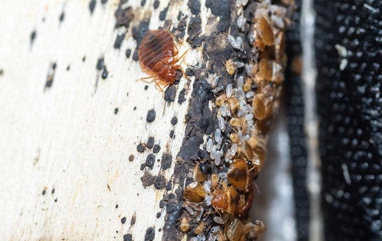 bedbugs on a mattress in lake worth florida