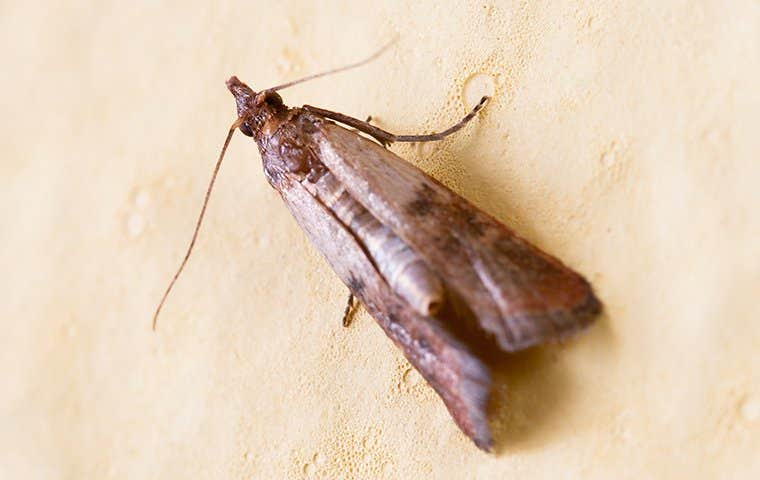an indian meal moth on a wall in lake worth florida