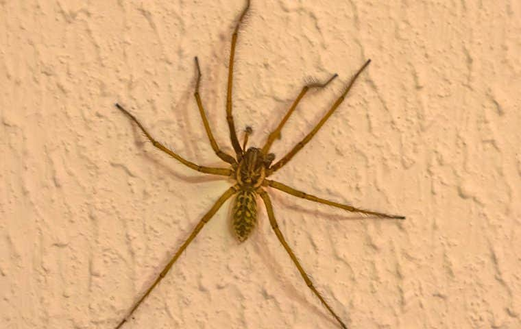 a house spider on a wall in a home in lake worth florida