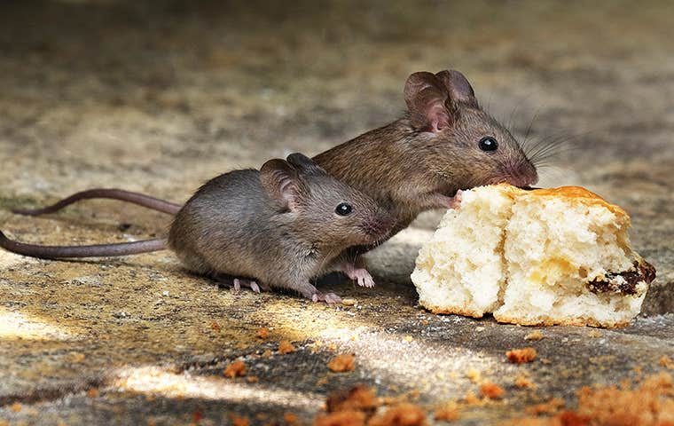 mice eating a biscuit in lake worth florida
