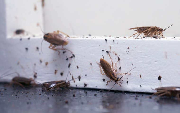 a german cockroach infestation in a home in lake worth florida