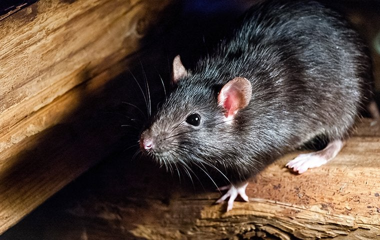 a roof rat in a wooden shed