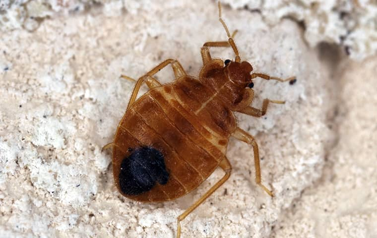 a bed bug on bedding in a home in lake worth florida